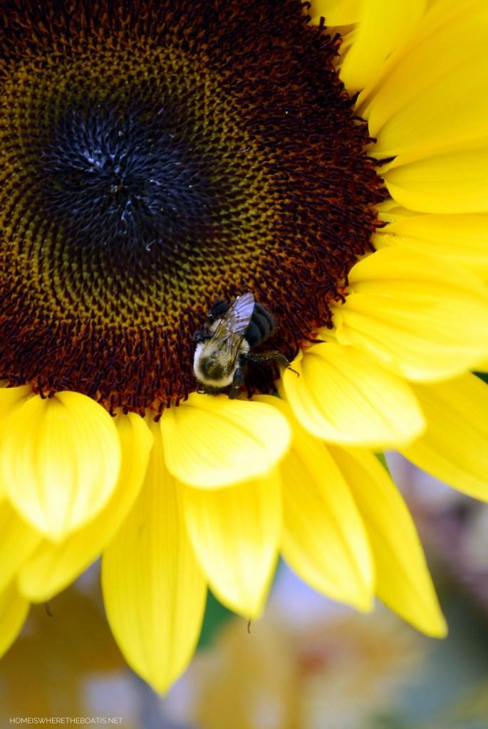 Sunflower with bee | ©homeiswheretheboatis.net #sunflowers #garden #bee
