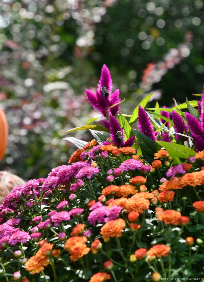 Two-tone pot of mums and celosia with bees | ©homeiswheretheboatis.net #fall #arrangement #mums #pumpkins