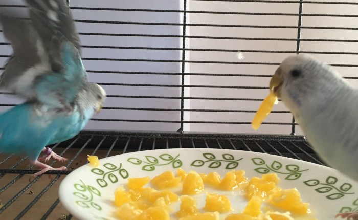 budgies/parakeets do not need grit