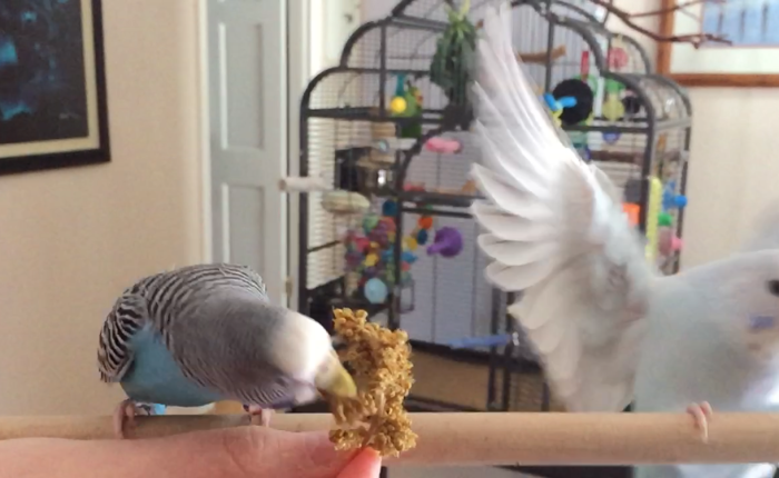 Slow motion parakeet video – fun with slow motion flight