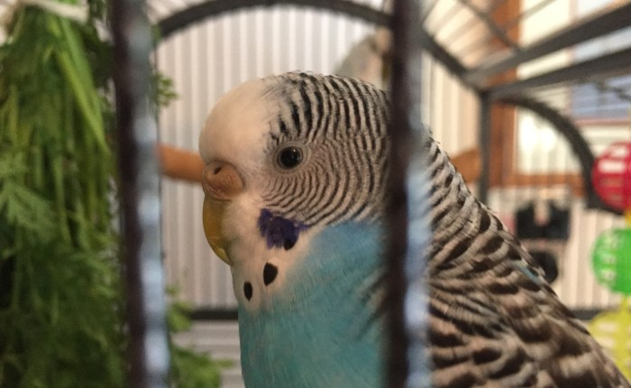 Facts about a parakeet's sense of sight & how you can use them to your advantage