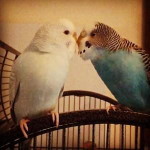 parakeet girls kissing