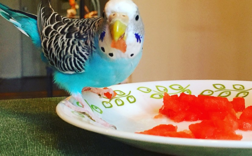 where should you get your first parakeet