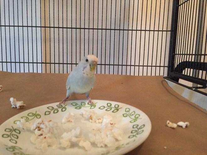 parakeets eat popcorn