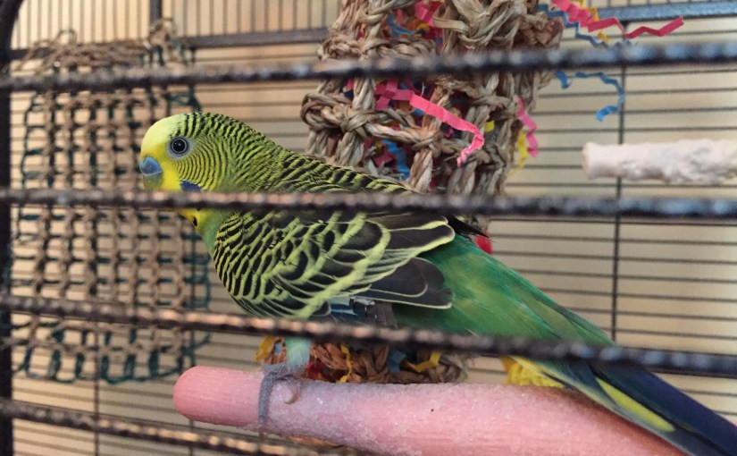 Introducing Kevin – our third parakeet and first boy!