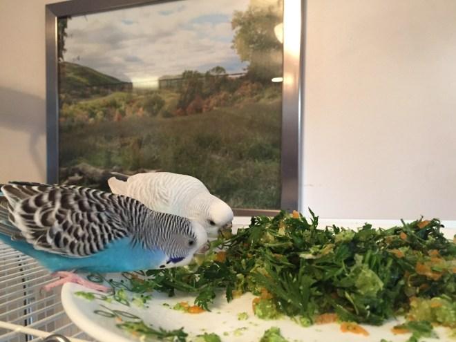 my fat parakeets