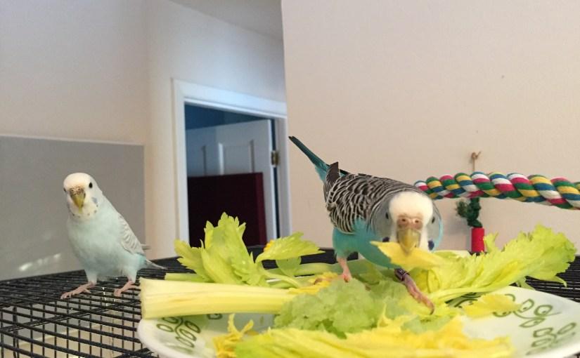 How to avoid breeding parakeets