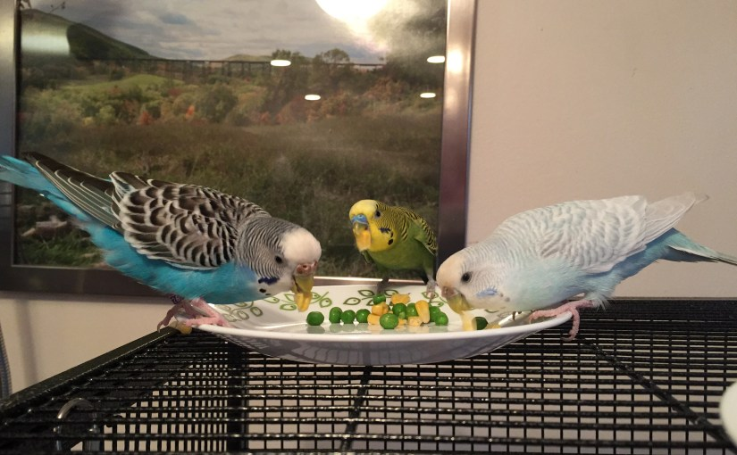 singing budgies