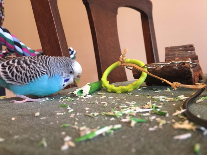budgies with sick humans