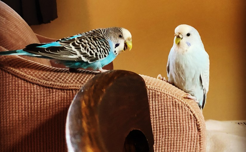 Pet parakeets and COVID-