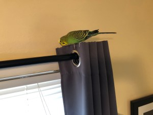 budgie time out of the cage