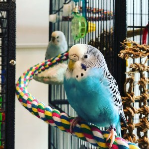 A blue parakeet in the foreground and a white parakeet behind