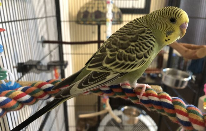 Introducing Vance. A juvenile green parakeet with a yellow face
