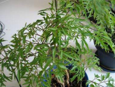 Plante dintrieur Polyscias photo Des Arbustes
