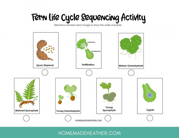 Fern Life Cycle Printable