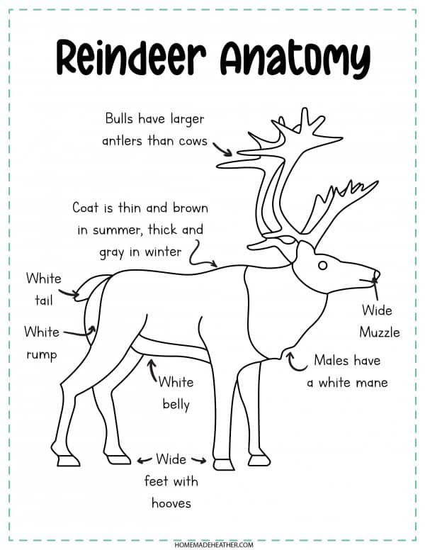 Reindeer Anatomy Printable