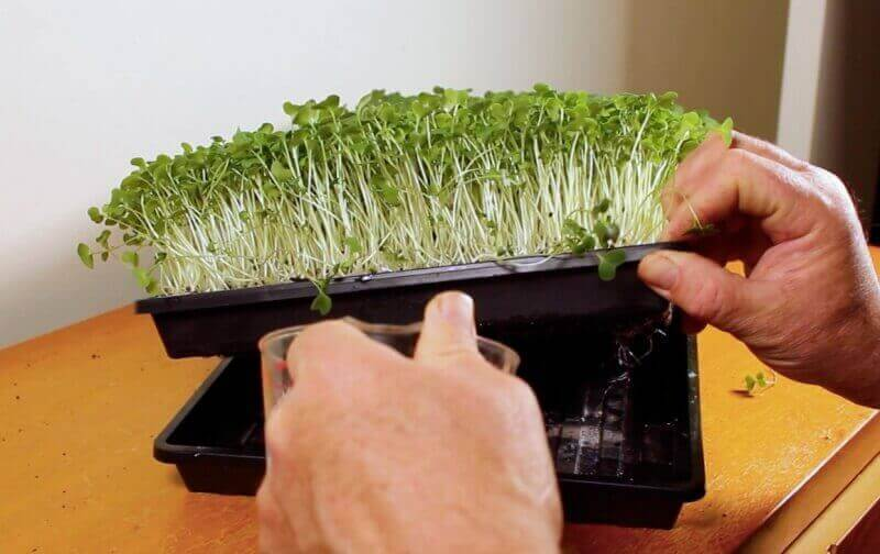 How To Grow Lettuce Indoors - Home Microgreens
