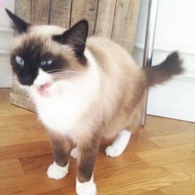 dinah chat sacré de birmanie drole de tete