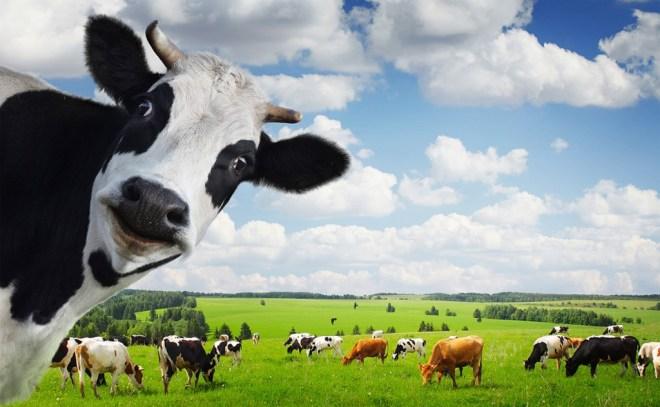 Homéopathie et élevage d'animaux.
