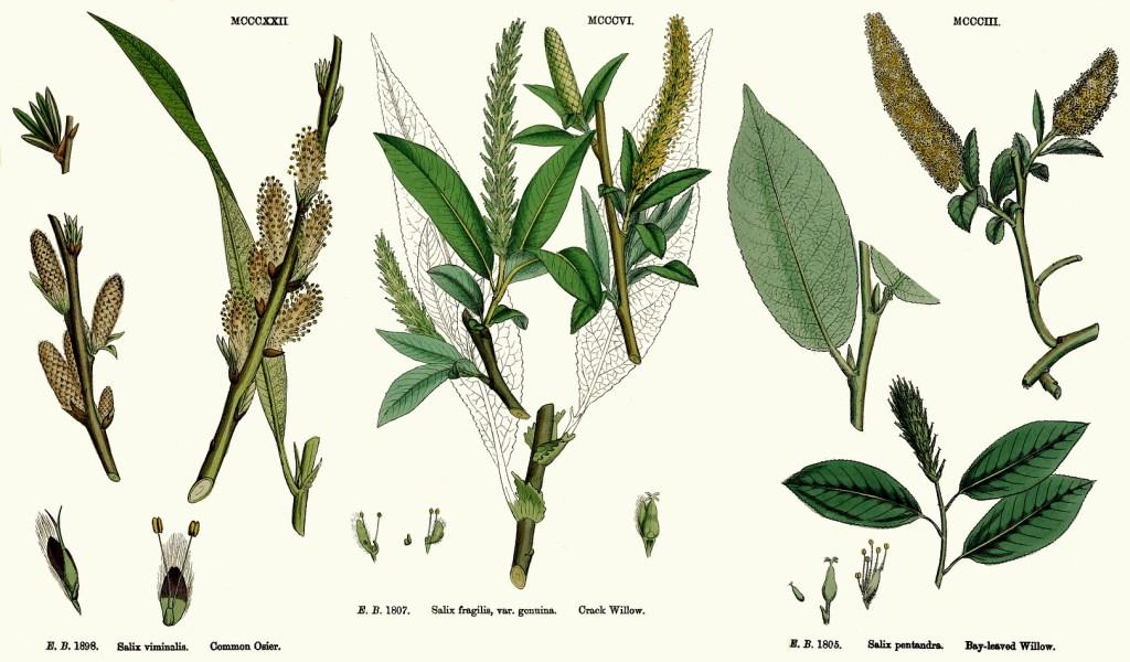 Remède homéopathique Salix.