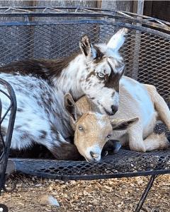 nigerian dwarf goats, dairy doats, nigerian dwarf does