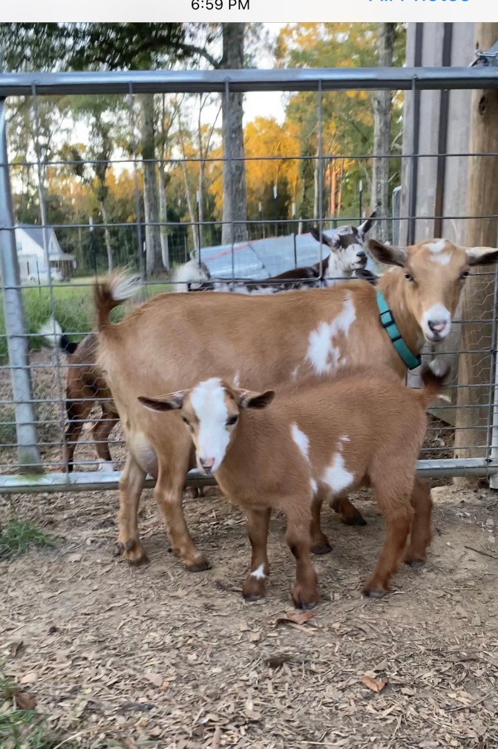 light brown and white nigerian dwarf buckling standing to the right of his light brown and white dam with brown and white and black and white goats standing in the background