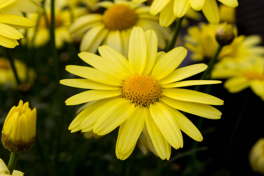 Know Your Remedies Arnica montana Arn  Homeopathy Plus