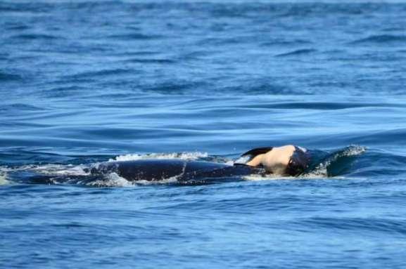TUBERCULINISMO - ORCA CARREGA FILHOTE2