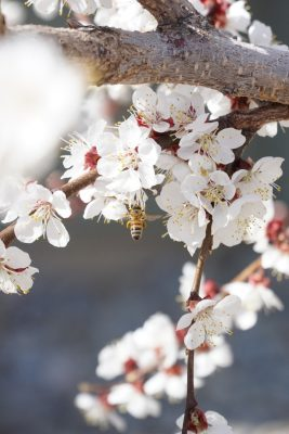 bees - white flowered tree