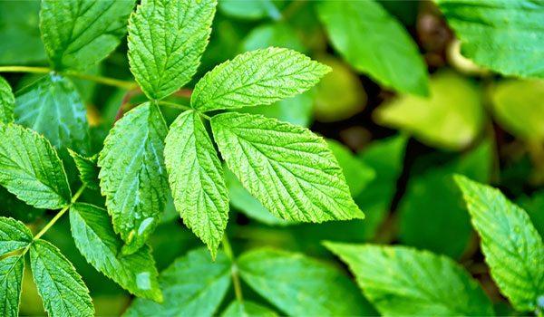 Red Raspberry leaves
