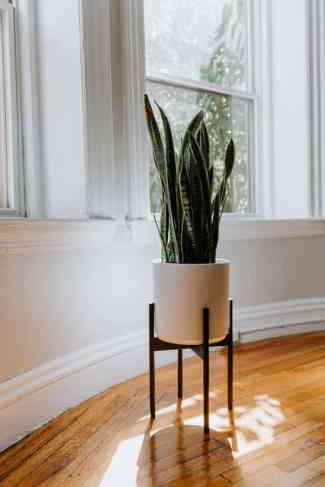 what are snake plant benefits?