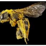 Electrically Charged Bees