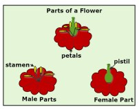 Diagram of Flower Reproductive Parts