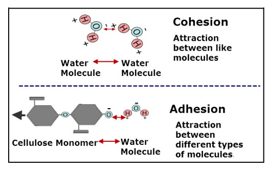 Cohesioin Water Molecules Adhesion Cellulose Water