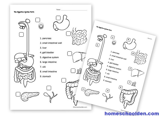 Kindergarten Worksheet Digestion. Kindergarten. Best Free