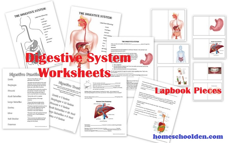 Digestive System Hands On Activities Esophagus Stomach Small