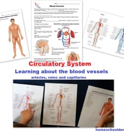 Circulatory System Packet: Worksheets and Hands-on Activities - Homeschool  Den [ 818 x 977 Pixel ]