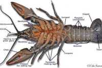 Crayfish Dissection Worksheet