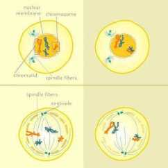 Mitosis And Meiosis Venn Diagram Worksheet Rockford Fosgate T1 12 Wiring Vs Answers | Homeschooldressage.com