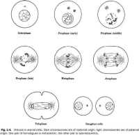 Mitosis Worksheet and Diagram Identification Answers ...