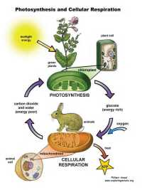 Photosynthesis and Respiration Worksheet ...