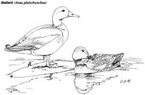 The Common Birds coloring book