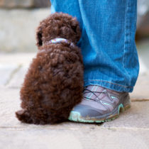 A shy miniature poodle sitting by it's owners leg outside.