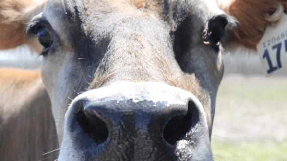 bovine wonder