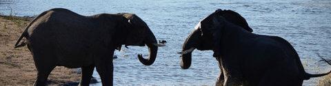 Olifanten in het water Zuid-Afrika