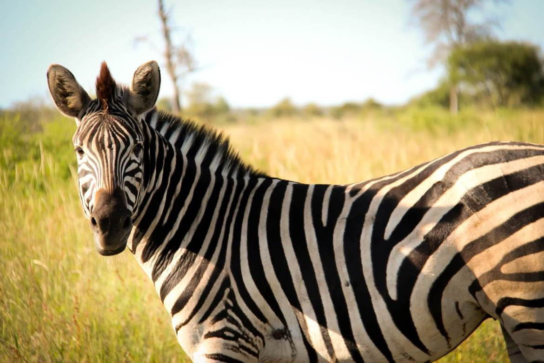 Zebra in het Krugerpark