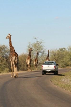 Giraffen - Krugerpark - Reisverzekering Zuid-Afrika