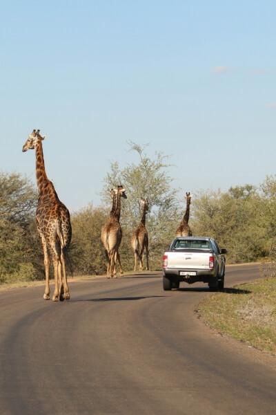 Giraffen - Krugerpark - Fly Drive Zuid-Afrika