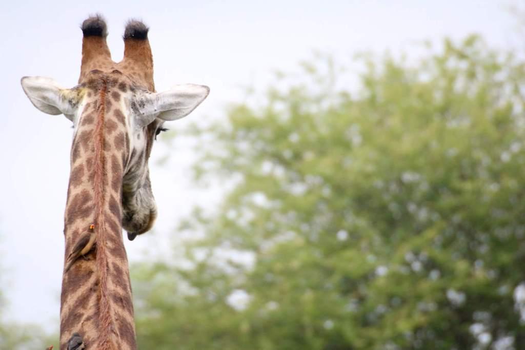 Giraffe neck - Kruger Park