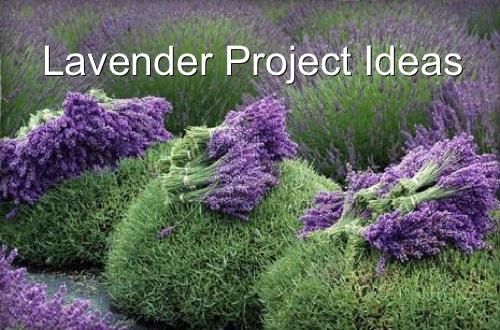 Lavender Project Ideas Homestead & Survival